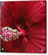 My Red Flower Acrylic Print