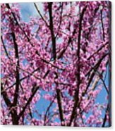 My Redbuds In Bloom Acrylic Print