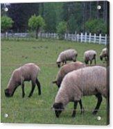 My Sheep Know My Voice Acrylic Print