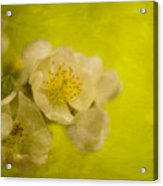 My Sweet Wild Rose Acrylic Print