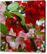 My Two Quince Worth Acrylic Print