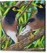 Mynah Birds #474 Acrylic Print
