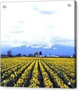Myriads Of Daffodils Acrylic Print