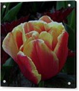Mysterious Tulip Acrylic Print