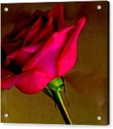 Mystical Rose Acrylic Print