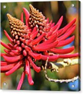 Naked Coral Tree Flower Acrylic Print by Mariola Bitner