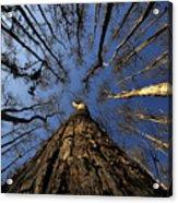 Naked Cypress Acrylic Print