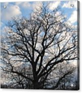Naked Oak Acrylic Print