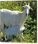Nanny And Kid Goat Acrylic Print