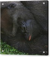 Nap Time For The Monkey Acrylic Print