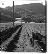 Napa Valley Vineyard .  Black And White . 7d9020 Acrylic Print by Wingsdomain Art and Photography
