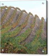 Napa Vineyard Acrylic Print