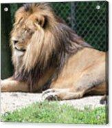 Nappin' Lion Acrylic Print