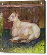 Naptime On The Farm Acrylic Print