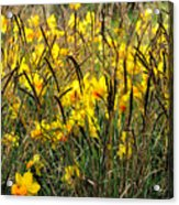 Narcissus And Grasses Acrylic Print