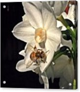 Narcissus And The Bee 2 Acrylic Print by Daniele Smith
