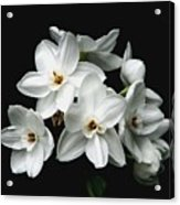 Narcissus The Breath Of Spring Acrylic Print