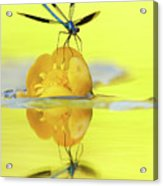 Narcissus - Damselfly Reflected In The River Acrylic Print