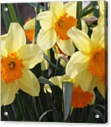 Narcissus Fortissimo Acrylic Print
