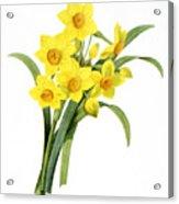 Narcissus (n. Tazetta) Acrylic Print