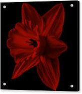 Narcissus Red Flower Square Acrylic Print