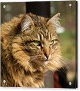 Nari A Maine Coon Cat Acrylic Print