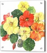 Nasturtiums Acrylic Print