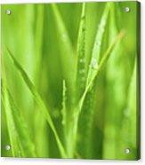 Native Prairie Grasses Acrylic Print by Steve Gadomski