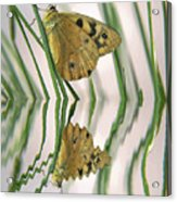 Native Tasmanian Butterfliy. Acrylic Print