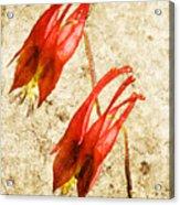 Native Virginia Columbine Acrylic Print