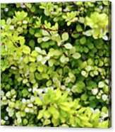 Natural Background With Small Yellow Green Leaves. Acrylic Print
