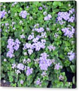 Natural Bush With Purple Small Flowers. Acrylic Print