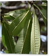 Natural Leaf Acrylic Print