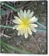 Natural... White And Yellow Flower Acrylic Print