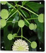 Nature In The Wild - Natural Pom Poms Acrylic Print