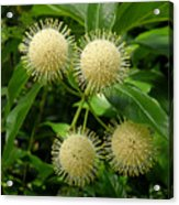 Nature In The Wild - Pin Cushions Of Nature Acrylic Print