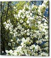 Nature Tree Landscape Art Prints White Dogwood Flowers Acrylic Print