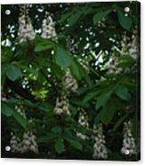 nature Ukraine blooming chestnuts Acrylic Print
