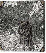 Nature Walk Wolf Acrylic Print by Debra     Vatalaro