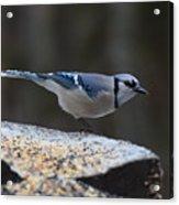 Natures Birds 66 Acrylic Print
