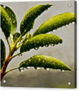 Early Morning Raindrops Acrylic Print