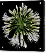 Natures Fireworks - Lily Of The Nile 005 Acrylic Print