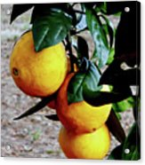 Naval Oranges On The Tree Acrylic Print