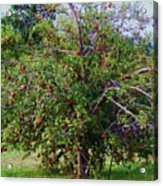 Nc Mountain Apples II Acrylic Print