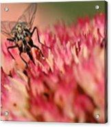Nectar Hunt Acrylic Print