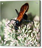 Nectar Lover Acrylic Print