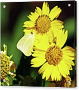 Nectar Seeker Acrylic Print