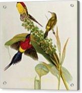 Nectarinia Gouldae Acrylic Print by John Gould
