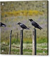 Neighborhood Watch Crows Acrylic Print