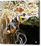Nemo And Marlin Acrylic Print